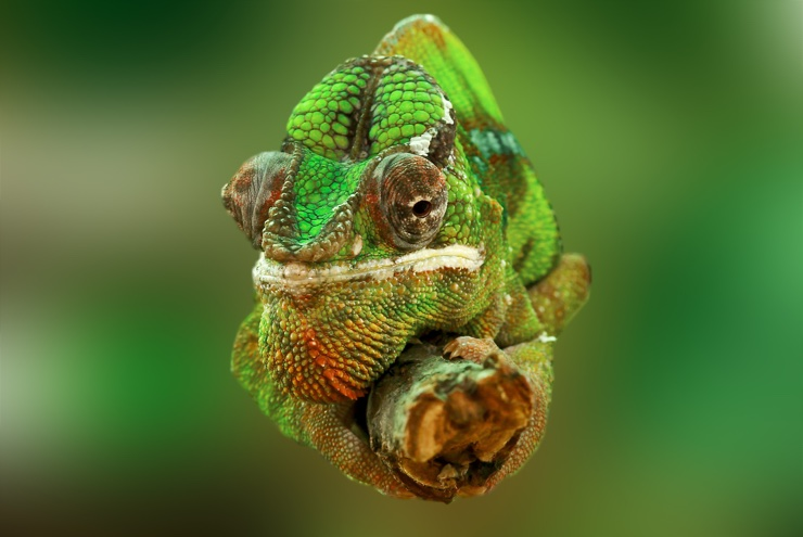 Closeup image of a chameleon on a branch