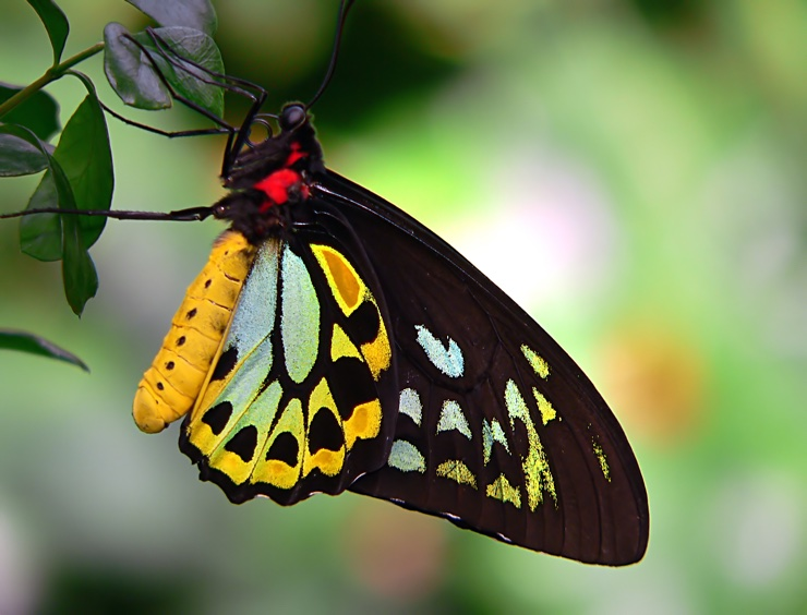 Yellow, cyan and black butterfly perched on a leaf