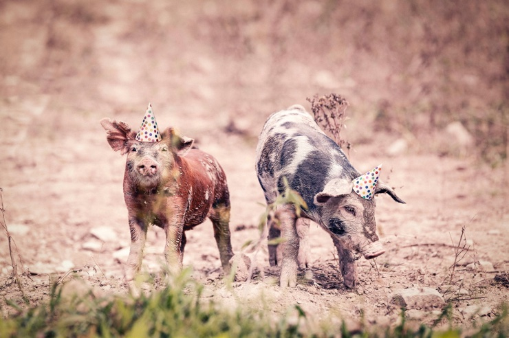 Quirky photo of pigs wearing party hats playing in the dirt