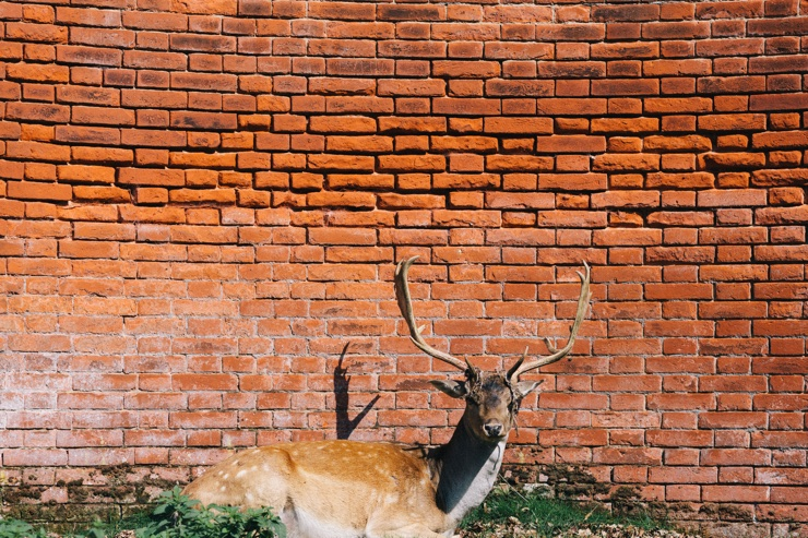 Photograph of a deer sat in the sun in front of a brick wall