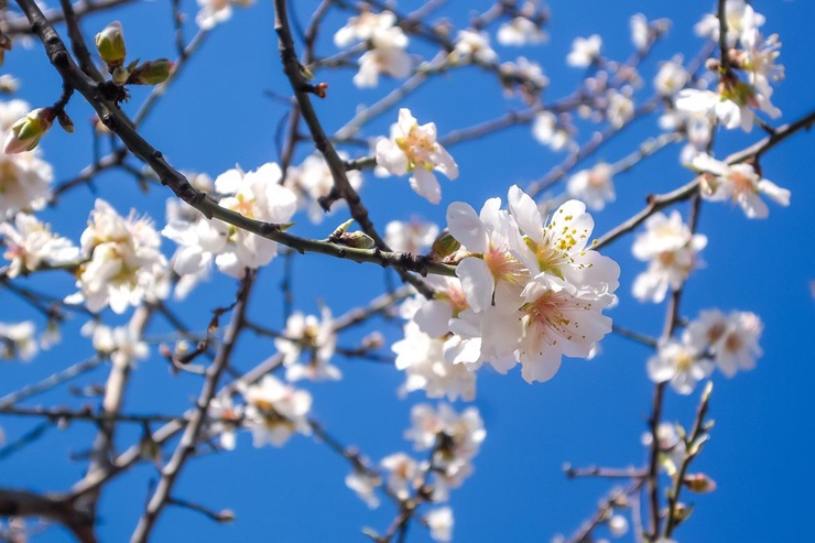 High res photo of pale pink almond blossom against blue sky