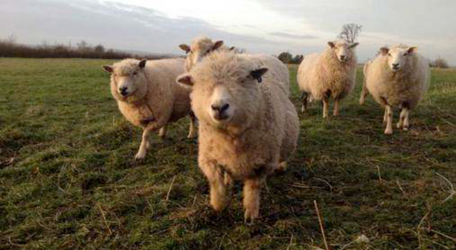 Downhead Manor Farm Sheep